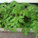 Volunteer Tomato Seedlings in old Laundry Tub