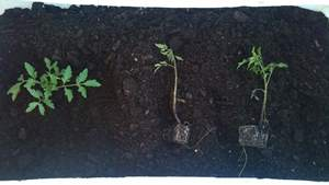 Planting out the seedlings